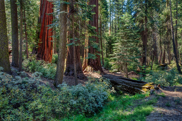 Sequoia National Park, giant sequoias, Giant Forest, Wildsight Photography